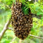 Colonia o panal de abejas