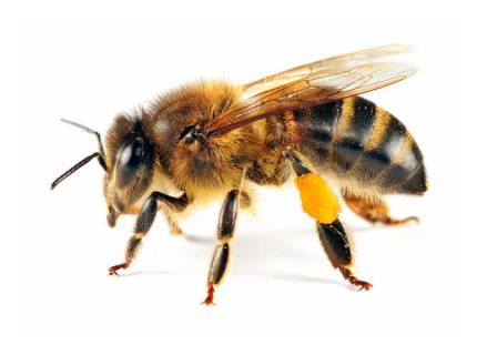 bee-with-pollen-241132730_std_0