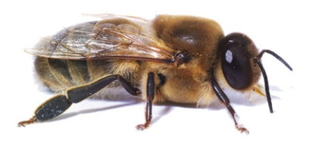 drones and worker bees with Abejapedia on Naturalist worksheets also Honey Bee Presentation Final likewise Fibonacci as well Watch together with All About Honey Bees.