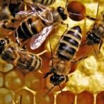 Colonia de abejas melíferas