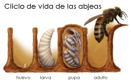 life-cycle-of-a-bee