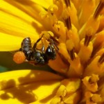 stingless-bee-Jan2011-LR1