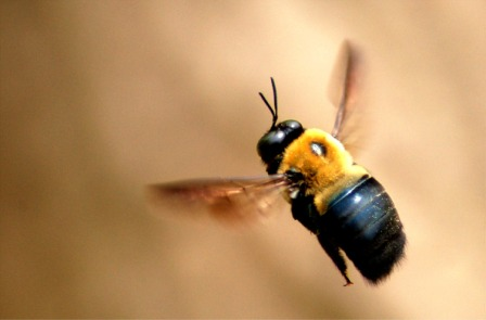 wood_bee